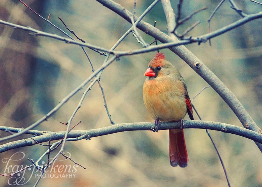 st louis female cardinal