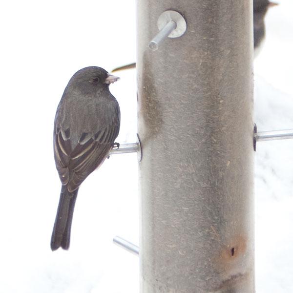 purple fringe killer on dark bird against snow