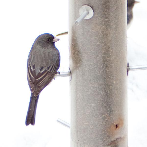 chromatic aberation on dark bird against snow