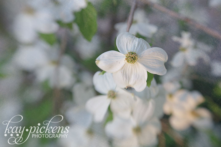 dogwood blooms with lensbaby
