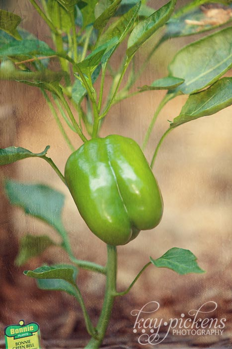 green pepper in garden